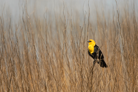 wetland conservation: A yellow-headed black bird perched among the weeds in a northern Missouri wetland. Stock Photo
