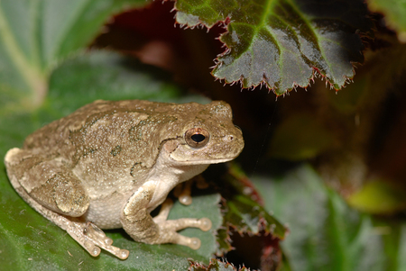 This appears to be Copes tree frog, which is very difficult to distinguish between the grey tree frog found in the same areas.
