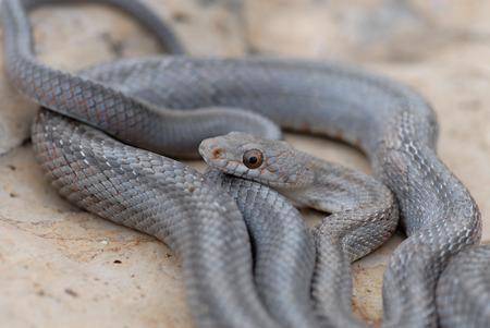 A bairds ratsnake coiled on a limestone rock in western Texas. Reklamní fotografie