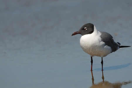 A single laughing gull on South Padre Island, Texas. Stock Photo