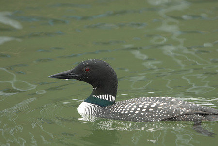The common loon is an uncommon visitor on Missouri lakes where this one was photographed.
