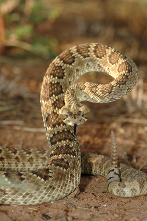 This mojave rattlesnake is displaying it's defense posture.