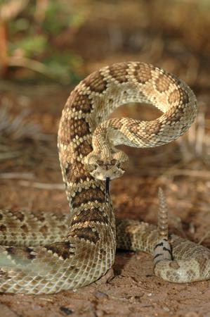 Esta serpiente de cascabel mojave está mostrando su postura de defensa. Foto de archivo - 81853886