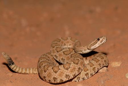 이 작은 꼬투리 방울뱀은 아치 국립 공원과 가까운 유타 남부에서 촬영되었습니다.