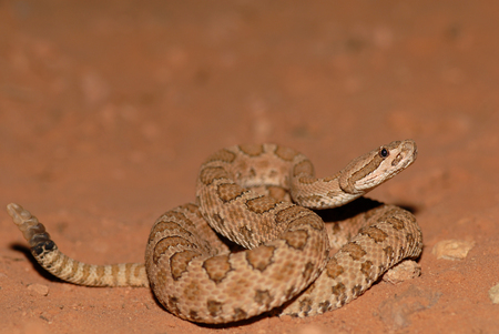 This midget faded rattlesnake was photographed in southern Utah, close to Arches National Park. Stock fotó - 81286111