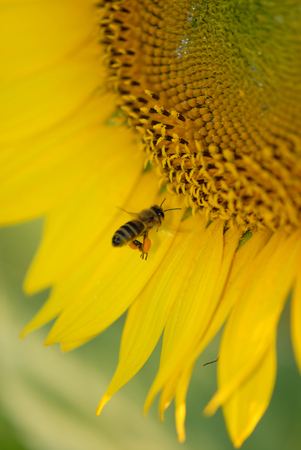 A honey bee flying in to land on a large sunflower to collect pollin. Stock Photo