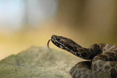 A small pygmy rattlesnake found in wetlands and prairies.