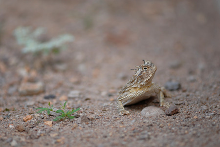 envoronment: The horned lizard from the desert south west of the United States.