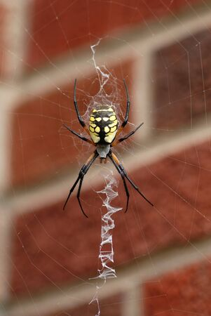 A common garden spider sitting in her web in front of a brick background.