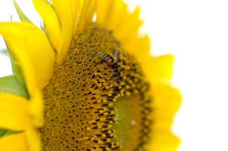 A small fly with nearly identical markings of the honey bee is seen here, collecting pollen from a large sunflower head.