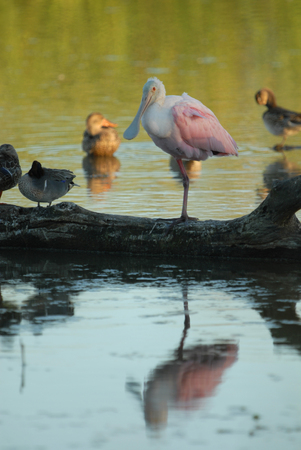 A roseate spoonbill perched on a log shared with a few ducks.