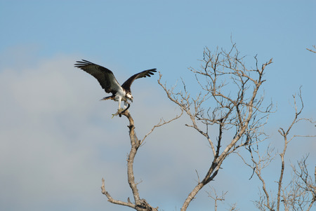 An osprey with a freshly captured fish in its talons, perched on a high branch in southern Florida. Stock Photo