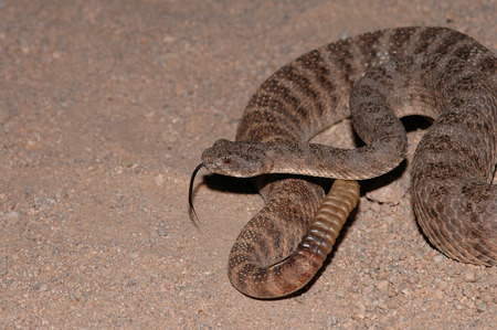 The tiger rattlesnake is a small but highly venomous species of pit viper. Stock Photo