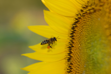 A honey been with an already large load of pollen attempting to get more from a huge sunflower.