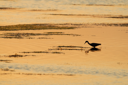 A wading bird is seen here wading in the shallow water in a south Florida bay. Stock Photo