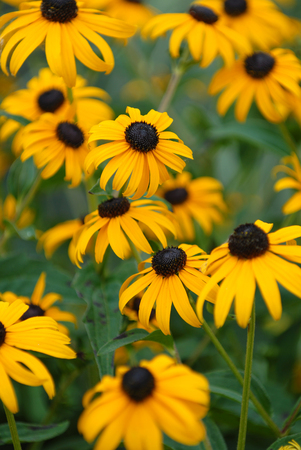 A group of black-eyed susan flowers with some in sharp focus and some blurred. Stock Photo