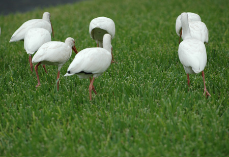A small group of American white ibis birds forage in recently cut grass on a south Florida lawn. Stock Photo