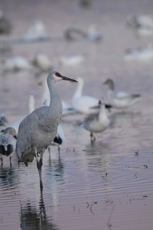A sandhill crane photographed standing in shallow water surrounded by snow geese in southern New Mexico.