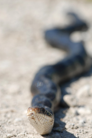 A black rat snake stretched out across a gravel road. Imagens