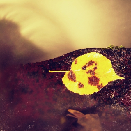 aspen leaf: Bright yellow aspen leaf. Nice broken yellow leaf on wet stone in blurred water cascade of mountain stream.