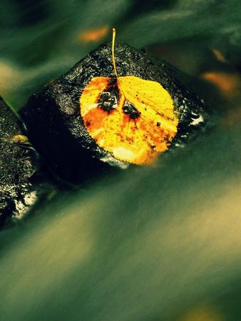 aspen leaf: Rotten aspen leaf on wet stone in stream