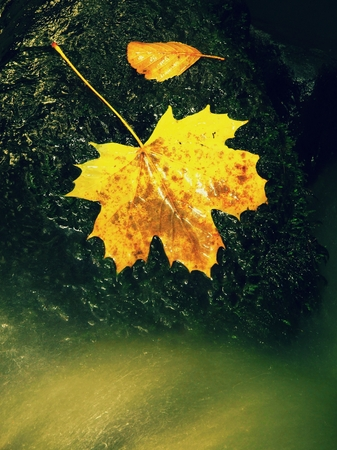 stone cold: Autumn yellow maple leaf. Autumn Castaway on wet slipper stone in cold milky water of rapid stream.