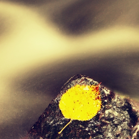 aspen leaf: Bright yellow aspen leaf. Nice yellow broken leaf on wet stone in blurred water of mountain stream cascade. Stock Photo