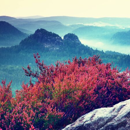 hilly: Pink red blooming of heather bush on cliff  in the summer. Hilly countryside.