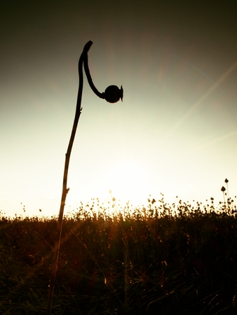 bended: Bended stalk of poppy seed. Evening field of poppy heads waiting for  harvesting