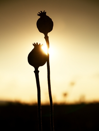 opiate: Long dry stalk of poppy seed. Evening field of poppy heads waiting for  harvesting Stock Photo