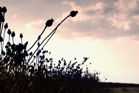 poppy seed: Long dry stalk of poppy seed. Evening field of poppy heads waiting for  harvesting Stock Photo