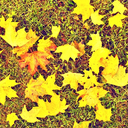 end of the line: End of football season. Dry maple leaves fallen on ground of natural green football turf with painted white line.