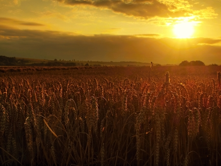 Morning yellow wheat field on the cloudy orange sunset sky background Setting sun rays on horizon in rural meadow Close up nature photo Idea of a rich harvest Stock Photo