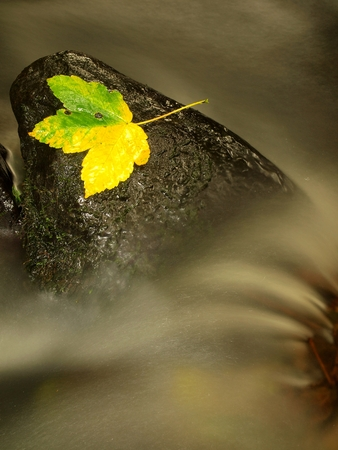 castaway: Yellow green maple leaf. Castaway on wet stone in rapids. Stock Photo