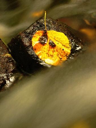 aspen leaf: Yellow rotten aspen leaf on stone in stream Stock Photo