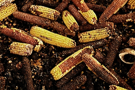 cereals holding hands: Wet corn cobs milled as animal feed. Waste from the end of corn shelling process