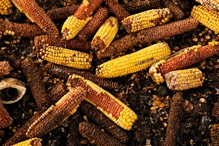 shelling: Wet corn cobs milled as animal feed. Waste from the end of corn shelling process