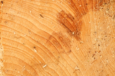 alder tree: Cut alder tree with annual ring, saw dust and pieces of bark. Detail of fresh tree stump