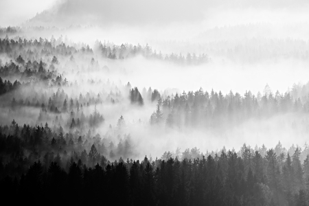 increased: Famous spring weather  in nauture  within inversion. Treetops increased from creamy fog.Black and white photo