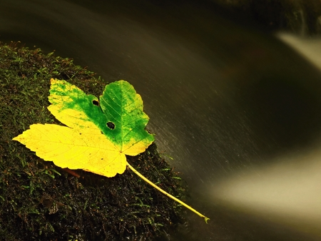beck: Yellow green maple leaf on slippery stone in stream