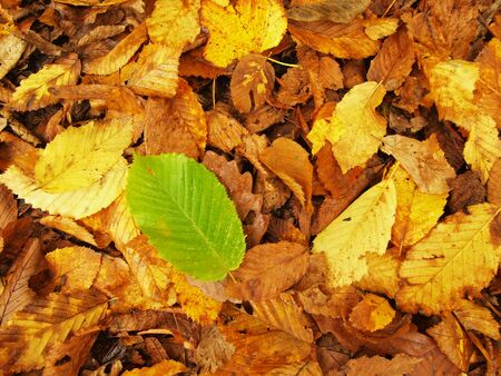 beech leaf: Fresh green beech leaf Between colorful leaves on the park ground. natural autumn colors. Stock Photo