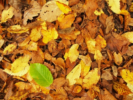 beech leaf: Fresh green beech leaf between colorful leaves on park ground. autumn natural colors. Stock Photo
