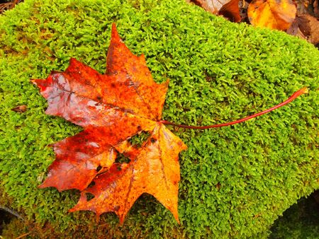 carpet stain: Park ground with autumn leaves. Yellow green broken maple leaf on mossy stone.