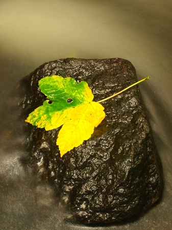 castaway: Yellow Green Death maple leaf in a stream. Autumn Castaway on wet slipper stone in blurred cold water of mountain river.