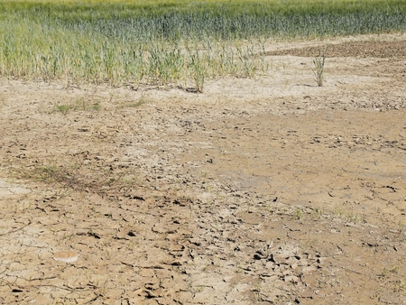 geologists: Dry cracked clay in corner of wheat field. Dusty ground with deep cracks and Wilted flowers.