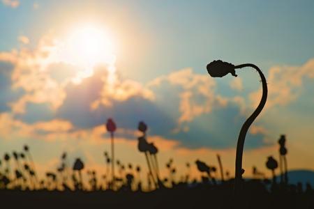 ケシの実の折れた茎。収穫を待っているポピーの頭の夕方フィールド 写真素材