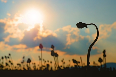 opiate: Bended stalk of poppy seed. Evening field of poppy heads waiting for  harvesting