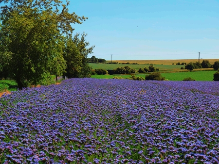 buzz: Purple Tansy field in countryside in hot summer day. Green blue purple flowers in blossom are shaking with buzz bees Stock Photo