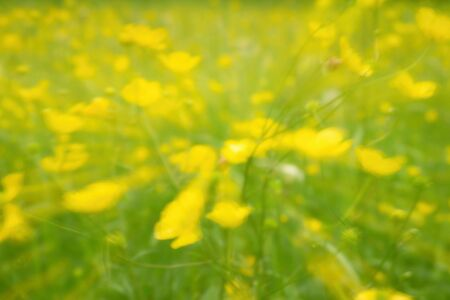 unclear: Defocused yellow flowers and grass. Blurred and de focused yellow blossom and green stalks leaves for background. Hypnotic blurry effect.