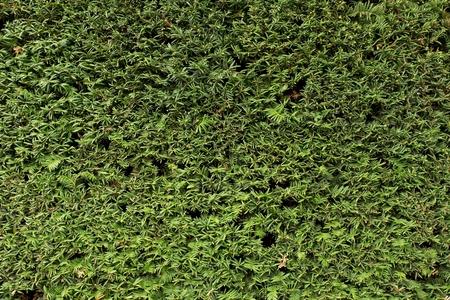 textura: verdi rami freschi con rami secchi taglio come texture. Tagliare recinzione siepe in giardino.